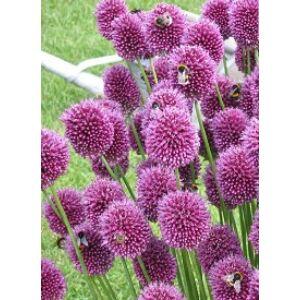 Allium sphaerocephalon - Bunkós hagyma