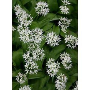 Allium ursinum - Medvehagyma