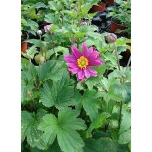 Anemone × hybrida 'Pamina' - Szellőrózsa (sötét rózsaszín hibrid)