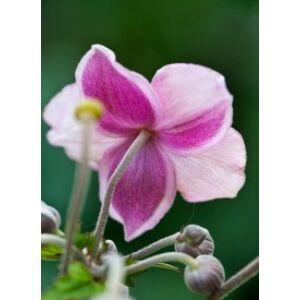 Anemone tomentosa (vitifolia) 'Robustissima' - Szellőrózsa