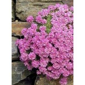 Armeria juniperifolia 'Bevan's Variety' - Borókalevelű pázsitszegfű (rózsaszín)