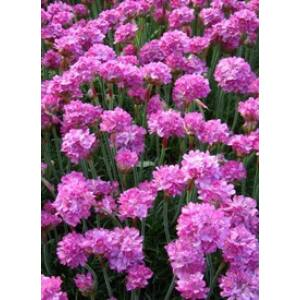 Armeria maritima 'Rosea' - Tengerparti pázsitszegfű (rózsaszín)