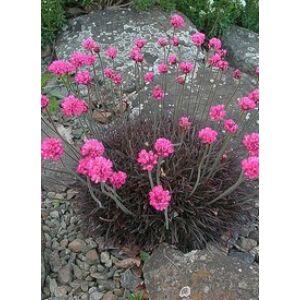 Armeria maritima 'Rubrifolia' - Tengerparti pázsitszegfű (rózsaszín)