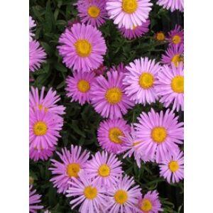 Aster alpinus 'Happy End' - Havasi őszirózsa, gerebcsin (rózsaszín)