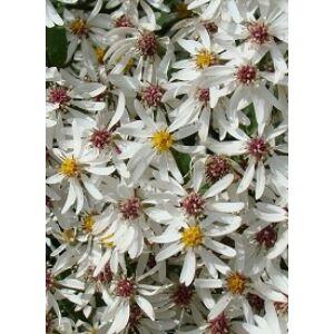 Aster divaricatus - Fehér őszirózsa