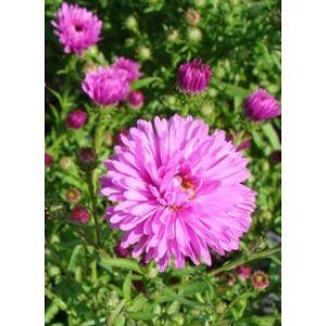 Aster dumosus 'Rosa Chrystal' - Törpe őszirózsa (rózsaszín)