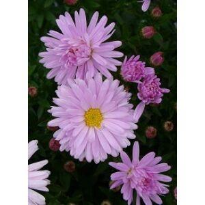 Aster dumosus 'Rosenquarz' -  Világos rózsaszín törpe őszirózsa
