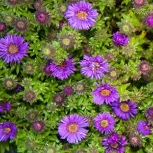 Aster novae-angliae 'Purple Dome' - Mirigyes sötétlila őszirózsa