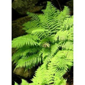 Athyrium filix-femina - Hölgypáfrány