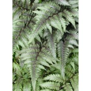 Athyrium niponicum var. pictum ('Metallicum') - Japán hölgypáfrány