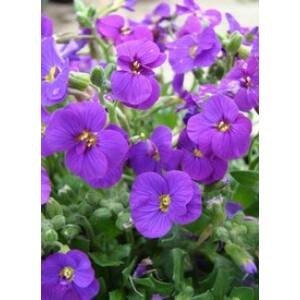 Aubrieta hybrida 'Axcent Deep Purple' - Bíbor kerti pázsitviola