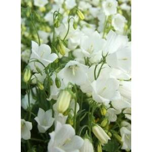 Campanula cochlearifolia 'Alba' - Törpe harangvirág (fehér)