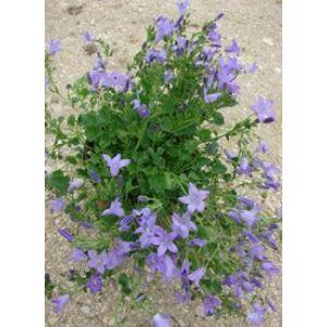 Campanula poscharskyana 'Hirsch Blue' - Liláskék balkáni harangvirág