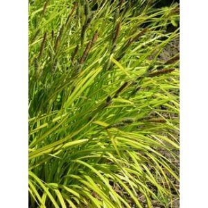 Carex elata 'Bowles Golden' - Zsombéksás
