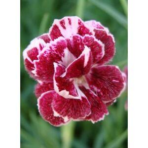 Dianthus 'Whatfield Wisp' - Pünkösdi szegfű