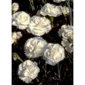 Dianthus plumarius 'Haytor White' - Tollas szegfű (fehér)