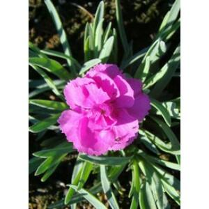 Dianthus plumarius 'Warden Hybrid' - Lilás rózsaszín tollas szegfű