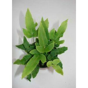 Dryopteris sieboldii - Pajzsika