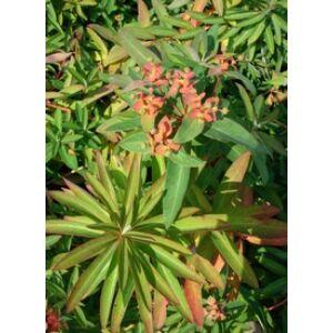 Euphorbia griffithii 'Fireglow' - Rózsás kutyatej