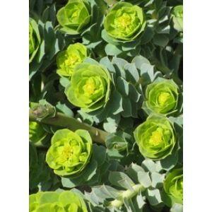 Euphorbia myrsinites - Szürke kutyatej