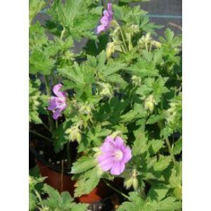 Geranium 'Sirak' - Lilás rózsaszín gólyaorr
