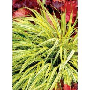 Hakonechloa macra 'Stripe it Rich' - Szálkafű (zöldessárga)