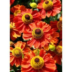 Helenium 'Indianersommer' - Őszi napfényvirág