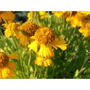 Helenium autumnale 'Pumilum Magnificum' - Őszi napfényvirág