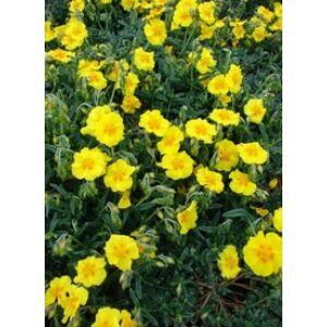 Helianthemum 'Ben Fhada' - Napvirág (sárga, szemes)