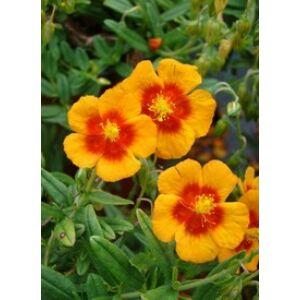 Helianthemum 'Ben Heckla' - Napvirág (narancsvörös)