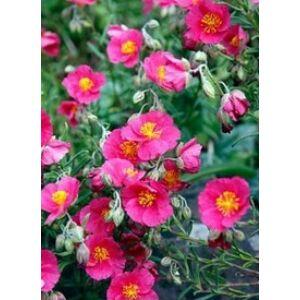 Helianthemum 'Ben Hope' - Napvirág (rózsaszín)