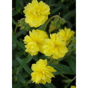 Helianthemum 'Sulphureum Plenum' (Gelbe Perle) - Sárga, telt napvirág