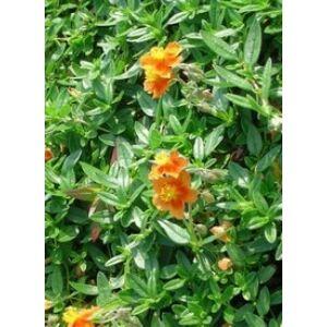 Helianthemum 'Watergate Orange' - Napvirág (narancssárga piros középpel)