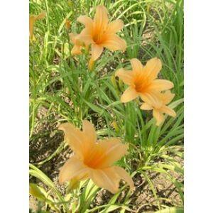 Hemerocallis 'Belconto' - Sásliliom (barackszínű)
