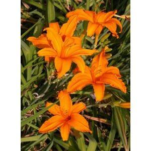 Hemerocallis 'Burning Daylight' - Sásliliom (narancs-barna)
