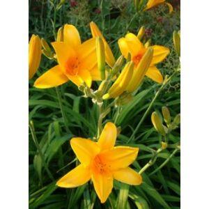 Hemerocallis 'Reverend Traub' - Narancsos, meleg sárga árnyalatú sásliliom