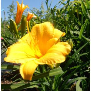 Hemerocallis 'Stella de Oro' - Sásliliom (sárga) - (9-es cserépben)