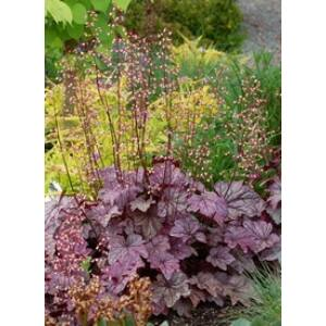 Heuchera micrantha 'Palace Purple' - Lila-bordó tűzeső