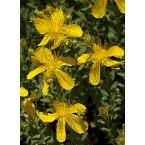 Hypericum polyphyllum 'Grandiflorum' - Aprólevelű orbáncfű