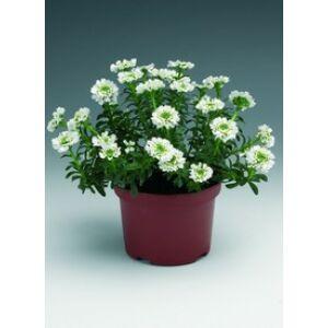 Iberis sempervirens 'Alexander's White' - Fehér örökzöld tatárvirág