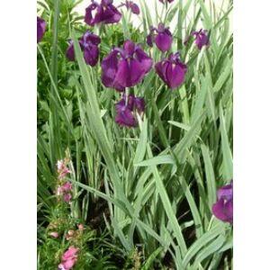 Iris ensata 'Variegata' - Vízparti nőszirom
