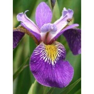 Iris pseudacorus 'Holden's Child' - Mocsári nőszirom (lilásibolya)