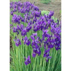 Iris sibirica 'Caesar's Brother' - Sötétkék szibériai nőszirom