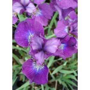 Iris sibirica 'Dorffest' - Bíborlila szibériai nőszirom (14-es konténerben)