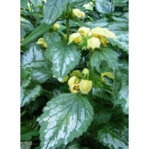 Lamiastrum galeobdolon 'Florentinum' - Erdei sárgaárvacsalán
