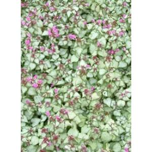 Lamium maculatum 'Beacon Silver' - Foltos árvacsalán (lilás rózsaszín)