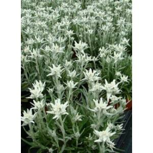 Leontopodium alpinum 'Mont Blanc' - Havasi gyopár