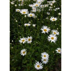 Leucanthemum superbum 'Alaska' (Chrys. max.) - Óriás margaréta (fehér)