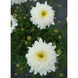 Leucanthemum superbum 'Stina' (Chrys. max.) - Fehér féltelt margaréta