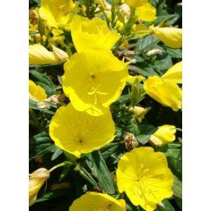 Oenothera fruticosa subspecies glauca (tetragona) - Négyszögletes ligetszépe